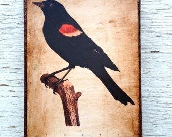 Vintage Red Wing Blackbird  Specimen 1904 -  Small Wall Art