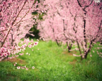 Landscape photography pink flowering trees fruit orchard pink green wall art colorful nursery room art 'Wonder'