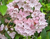 Photograph  Mountain Laurel Flowers Blooms Nature  Picture Photo  Spring Floral Print  Pink Shabby Chic