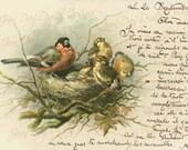 "Birds ""Robin's Nest & 5 Baby Birds"", with script,1903 antique Instant Digital French postcard  FrA166"