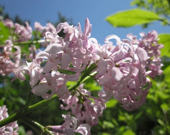 Lilac Flower Essences Natural Remedies Unscented Energetic Healers for Chakras, Emotions, Body-Mind, Subtle Bodies