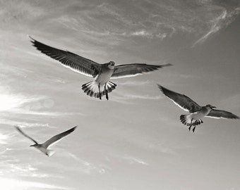 Seized with a passion for flight - Seagulls, Fine art photograph, print 8x12