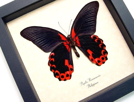 Red Papilio Rumanzovia Butterfly Conservation Display 138