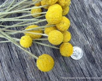 Craspedia-25 MINI short stem Billy Balls-Billy Buttons-Dried Yellow Wedding Flowers-Bundle of 25