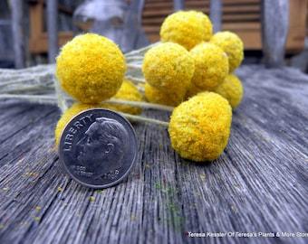 Craspedia-12 MINI short stem-Billy Balls-Billy Buttons-Dried Yellow Wedding Flowers-Bundle of 12