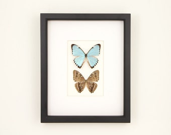 Real Blue Morpho Framed Butterfly Art Front and Back