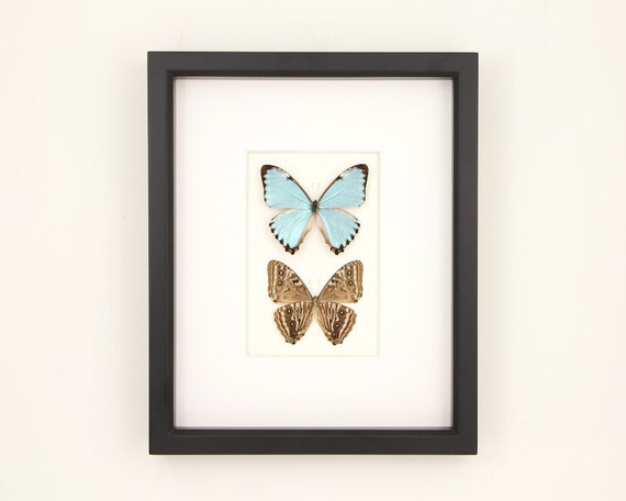 Blue Morpho Butterflies Art Front and Back of Butterfly