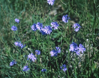12 common chicory root systems,Cichorium intybus