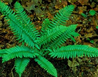 100 christmas fern bulbs(Polystichum acrostichoides)