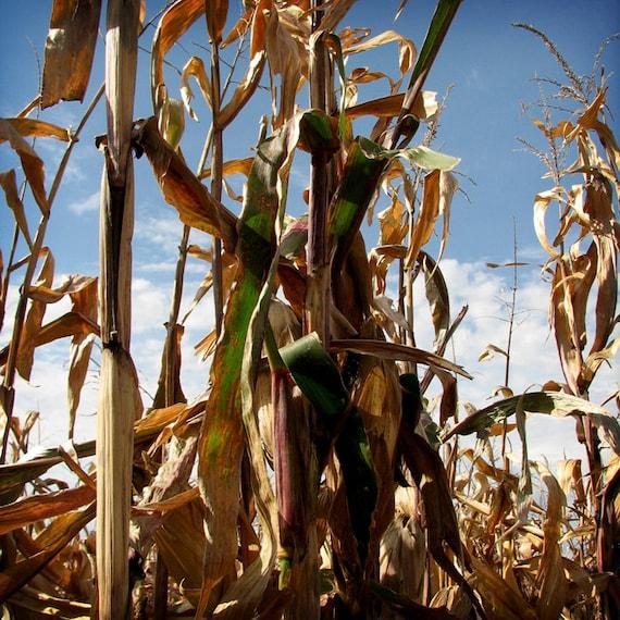 Corn Stalks 8 X 8 fine art photo print