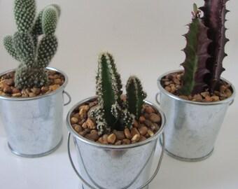 "Cactus Mini Buckets - Assorted Plants in 2"" Metal Buckets - Succulents, Haworthia, Aloe, Sedum - Wedding, Guest Favors, Event, Baby Shower"