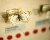 Butterfly Photography, Butterfly Specimen, Still LIfe Photo, Fine Art Photograph, Print, Cream, Ivory, Yellow, Red