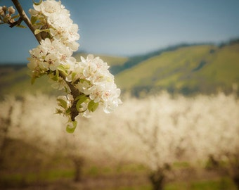 Apple Blossoms, Spring Photography Orchard Photo Flower Photograph Landscape Neutral Colors Wall Art Feminine nat73
