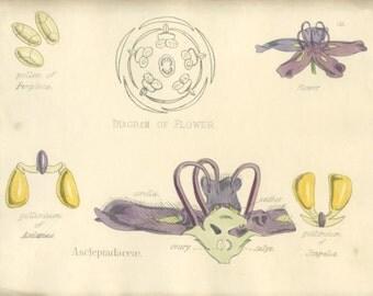 Milkweed, Antique Botanical Print, 1874, Purple,  Plate 58, Natural History, Vegetable Kingdom, Hand Colored