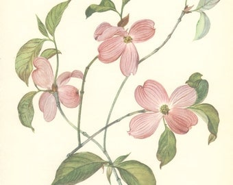 Vintage Flower Print, Flowering Dogwood, Botanical Plant (29) Natural History, Blossom Art, 1970