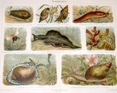 1894 snails original antique slug animal lithograph print - sea slug nudibranch