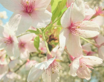 Cherry Blossom - Nature Photography, blossom flower photo, spring, feminine, pink, white, sky blue