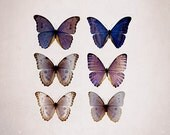 Butterfly Photograph, Purple Beige Wall Art, Blue Morpho, Nature Photography, 12x12 Print