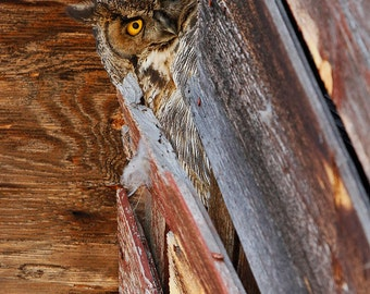 Big Bad owl, great horned owl, barn, barnwood, raptor, bird of prey, wildlife, oregon, birding
