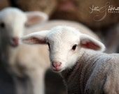 He leads me - fine lamb photography - farm fresh cards