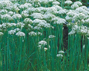 Chives Garlic-Organic Heirloom Herb Seed-Non-GMO Seed
