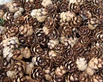 Hemlock Cones 100 Of Them