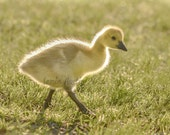 Gosling in the Morning Light - 8x10 Fine Art Print - Canadian Goose - Baby
