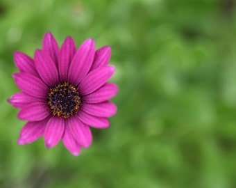 Flower Photography Macro Photography Nature Photography Purple  Daisy Minimal Wall Art  Fine Art Photography Print