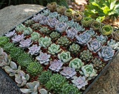 140 Rosette Only Wedding Succulent collection of Beautiful Succulents great as Party/WEDDING FAVORS in their plastic 2 inch Pots echeverias~