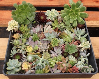 "55  (1-3""inch)  ROSETTE Succulent CUTTINGS  wall gardens wedding gift FAVOR Succulents"