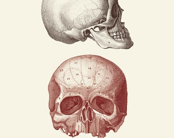 "Vintage Human Anatomy, Skulls, ""L'anatomie Humaine"" Print 8x10 P249"