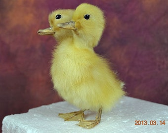Mature Taxidermy Two Head Freak Duckling Made By 2 Ducklings Free Shipping To Everywhere