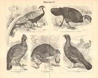1895 Galliformes, Silver Pheasant, Hazel Grouse, Grey Partridge, Black Grouse, Common Pheasant, California Quail Original Antique Engraving