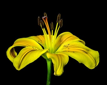 Yellow Lily Print,  flower photography, asiatic lily still life, Yellow wall art