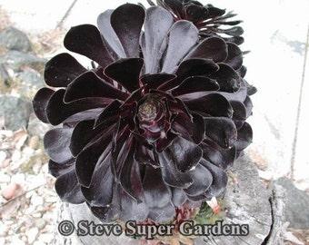 Aeonium 'Zwartkop' (Schwartzkopf)- Fantastic black color.