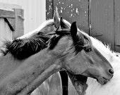 Horse Photo, 8x10 Print, Horses, Equine Flirting, Equine Art, Horse Photograph