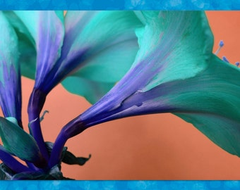 "Blue amaryllis, photo greeting card, 5""x7"", blank."