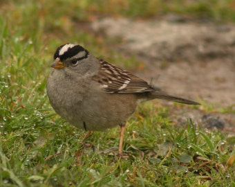 White-crowned sparrow 2: 5 x 7 photograph CHARITY DONATION