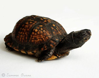 Turtle Photography - Reptile Photograph - 8x10 Fine Art Photo Print