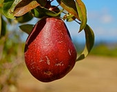 DIGITAL DOWNLOAD Nature Photography Autumn red pear blue green tan  lime green tree