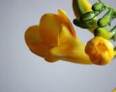 Yellow flower photograph, freesia flower print, flower bloom, still life photography, Closer, wall decor