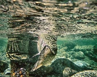 Fly fishing underwater rainbow trout tail - underwater fine art color photo print - Presa all'Amo - Underwater Rainbow