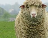 Rustic, Sheep, Ewe, French, Country, Farmhouse, Nursery, Childrens, Home Decor, Original Fine Art Photograph, 5x7