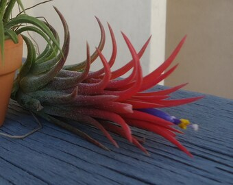 Tillandsia Ionantha Mexico Airplant