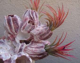Large Purple Barnacle Cluster Great for Mounting Tillandsia