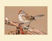 American tree sparrow bird photograph- 8x10 matted