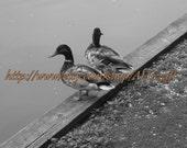 Duck photograph, mallard ducks, black and white animal photograph, 8x10
