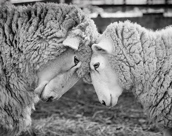 Sheep photo, Love, Valentine, Friendship, farm photo, animal photo - 8x10 fine art photograph