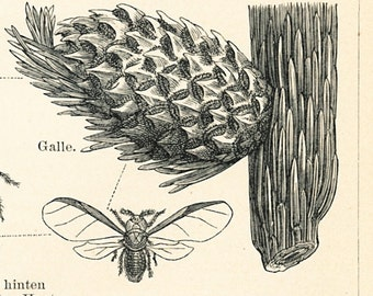 Cicada print  head louse  gall aphid  firebug insects print entomology : Antique 1890s engraving old book plate