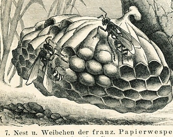 Hornet print wasp print bumble-bee print hymenoptera insect print insect development natural history : Antique 1890 engraving old book plate